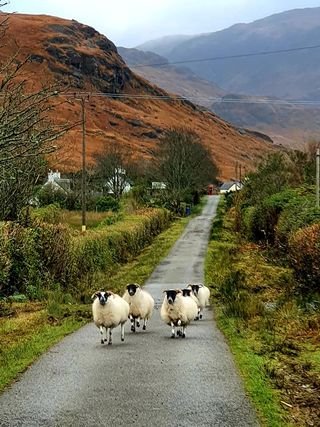 Sheep on Mull (Colin Morrison)
